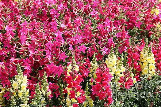 Chuck Kuhn - Fuchsia Colors