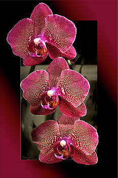 Fuchsia Orchids OOF by Phyllis Denton