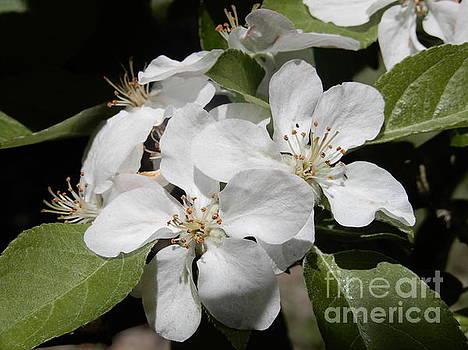 Beatrice Cox - Fuji Apple Blossom