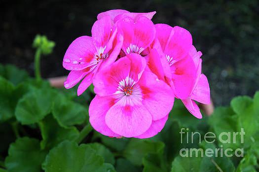 Full Bloom Geranium by Ruth H Curtis