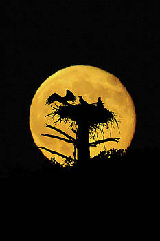 Full moon back of osprey nest by Dan Friend