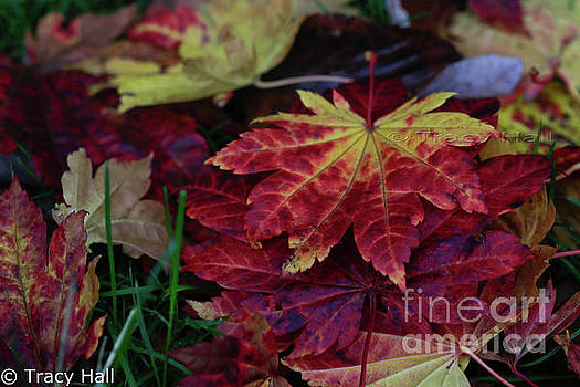 Full Moon Maples by Tracy Hall