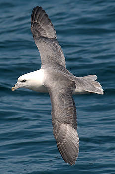Fulmar by Dave Smith