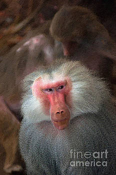 Funny Baboon by Andrew Michael