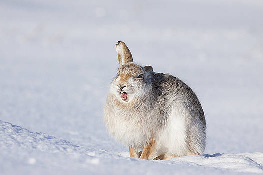 Funny Face - Mountain Hare - Scottish Highlands  #13 by Karen Van Der Zijden