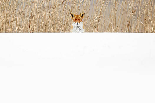 Funny Fox in the Snow by Roeselien Raimond