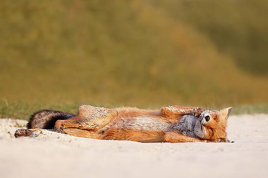 Funny Fox Series - Lazy Fox is Lazy by Roeselien Raimond