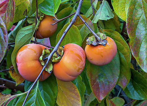 Fuyu Persimmon On Tree by Saxon Holt