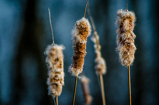 Fuzzy Cattails by Don L Williams