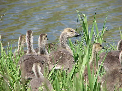 Fuzzy Goslings by Chad Hinckley