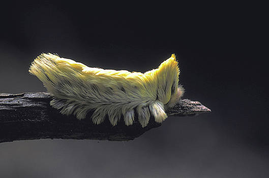Fuzzy Wuzzy Caterpillar in Rainforest by Carl Purcell