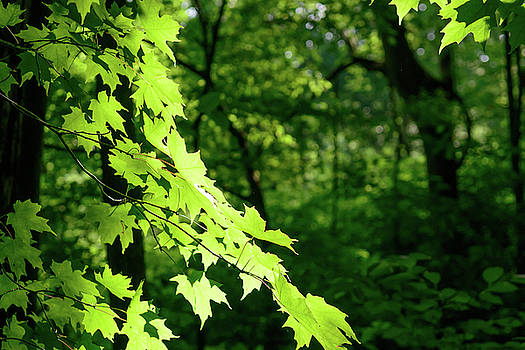 FX10A-2239 Maple Tree by Ohio Stock Photography