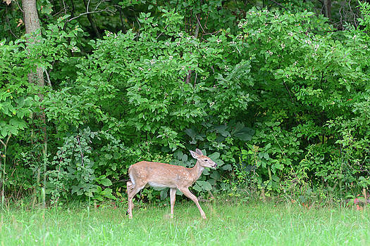 FX115A-3 White Tailed Deer by Ohio Stock Photography