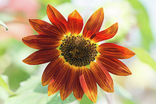 FX1M-81 Sunflower by Ohio Stock Photography