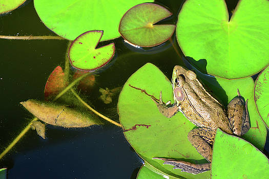 FX84A-3 Frog in Pond by Ohio Stock Photography