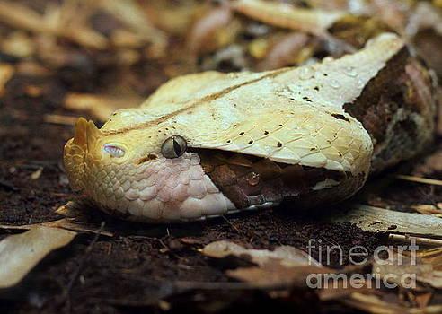 Gaboon Viper by Lisa L Silva