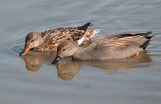 Gadwall by Dave Smith