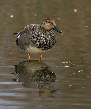 Gadwall by Doug Herr