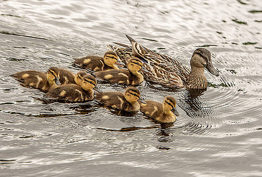 Gadwall with Chicks by Gordon Ripley