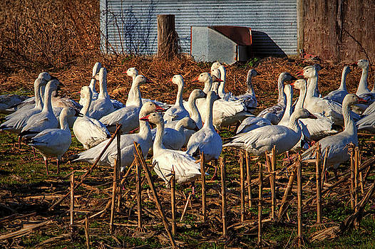 Gaggle of Snow Geese at Frankford, Delaware by Bill Swartwout