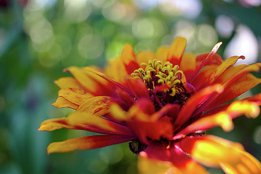 Gaillardia by Brady Lane
