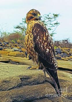 Galapagos hawk by Sergey Korotkov
