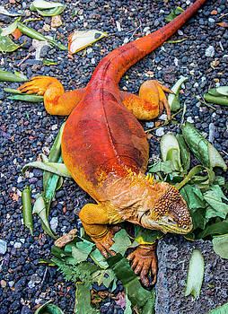 Venetia Featherstone-Witty - Galapagos Land Iguana