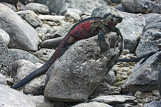 Galapagos Marine Iguana on Rock by Sally Weigand