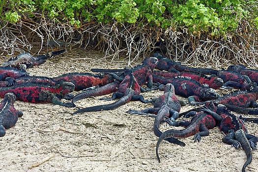 Galapagos Marine Iguanas Everywhere by Sally Weigand