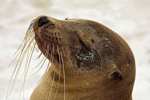 Galapagos Sea Lion Close-up by Sally Weigand