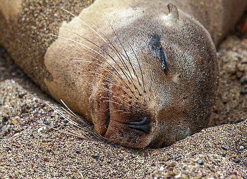 Galapagos Sea Lion Face by Sally Weigand