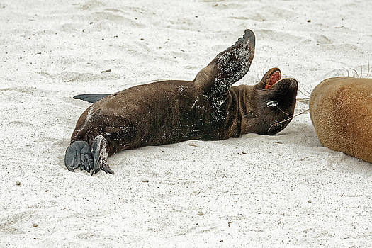 Galapagos Sea Lion Rolling Around by Sally Weigand