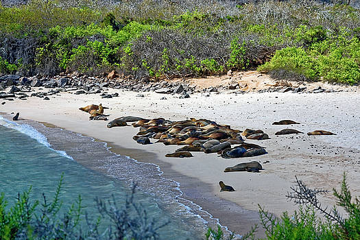 Galapagos Sea Lions Beach by Sally Weigand