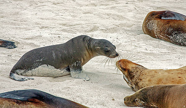 Galapagos Sea Lions Discussing by Sally Weigand