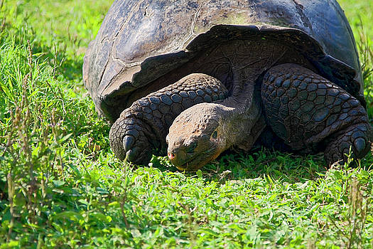 Galapagos Tortoise Head-on by Sally Weigand