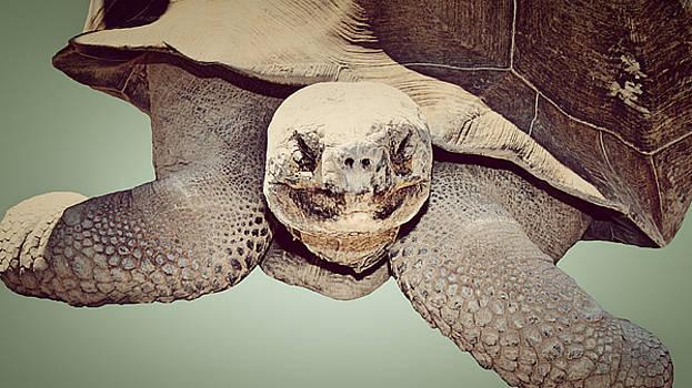 Galapagos Tortoise by Kori Creswell