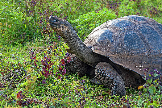Galapagos Tortoise Reaching High by Sally Weigand