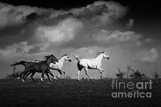 Dimitar Hristov - Galloping white horses Black and White