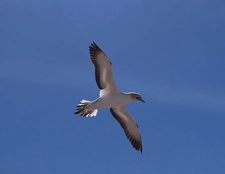 Gannet #2 by Lawrence Pratt