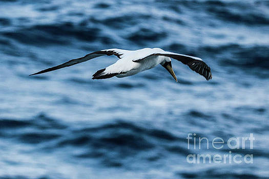 Gannet in the Caribbean by Thomas Marchessault