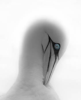 Gannet portrait by Roger Lever