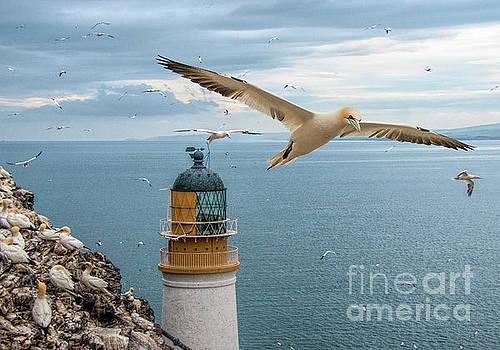 Gannets at Bass Rock Lighthouse by Brian Tarr