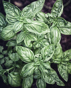 Garden Basil by Lisa Russo