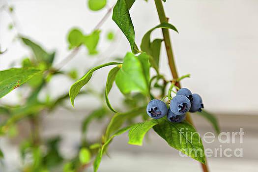 Sophie McAulay - Garden blueberry bush