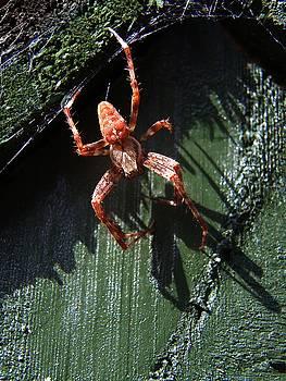 Garden Cross Spider by Chris Day