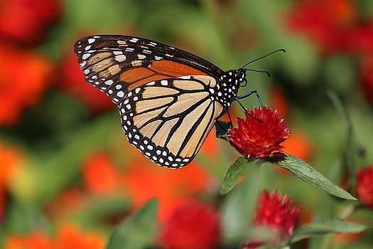 Rosanne Jordan - Garden Monarch