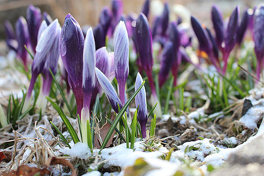 Garden of Crocuses by Angela Wile