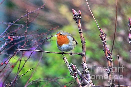 Garden Robin  by Vicki Spindler