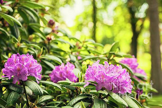 Sophie McAulay - Garden Rododendron bush