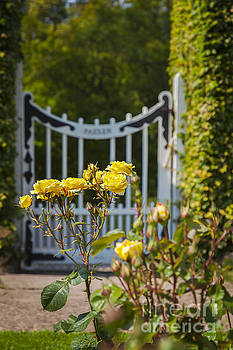 Sophie McAulay - Garden roses and gate
